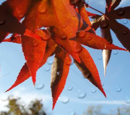 maple-raindrops.jpg