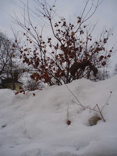 japanese-maple-buried.jpg
