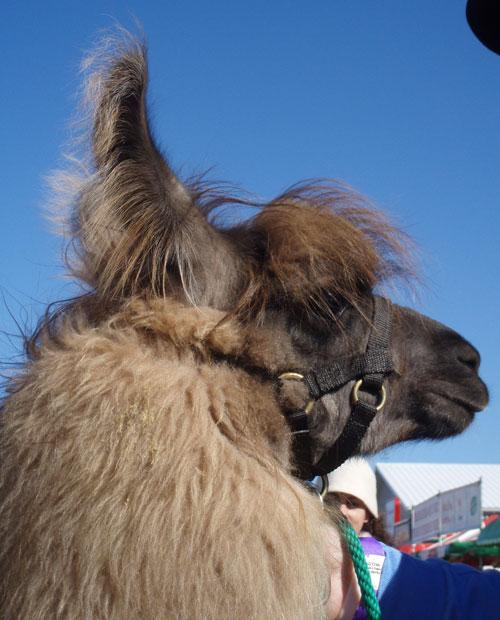 lovely-llama